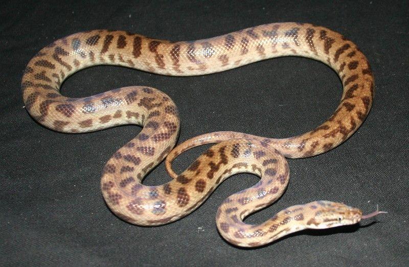 Georgetown Stimson S Python Antaresia Stimsoni Reptiles Amphibians Snake The corn snakes natural diet. pinterest