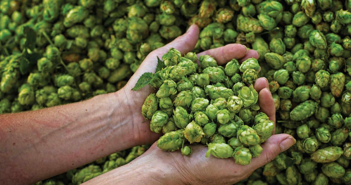 Noble Hops Cheat Sheet Craft Beer Brewing Home Brewing Beer Beer Hops
