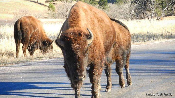 Image result for bison looks lost