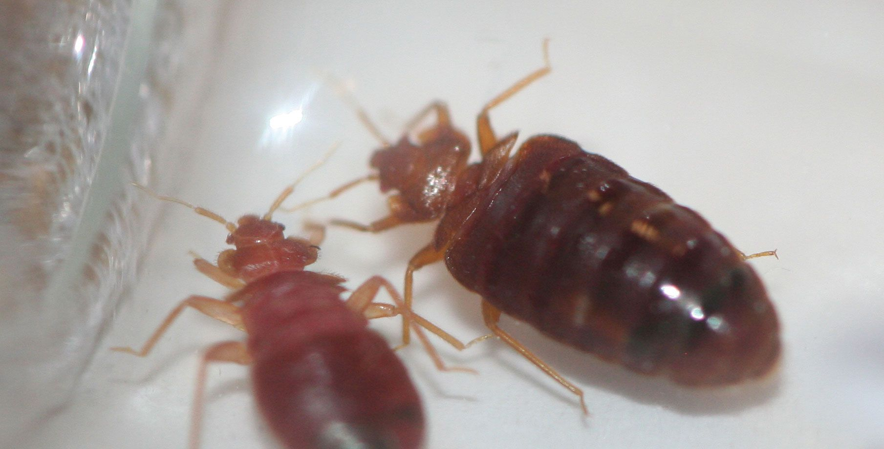 Bed Bug Facts Bed bugs treatment, Bed bugs, Rid of bed bugs