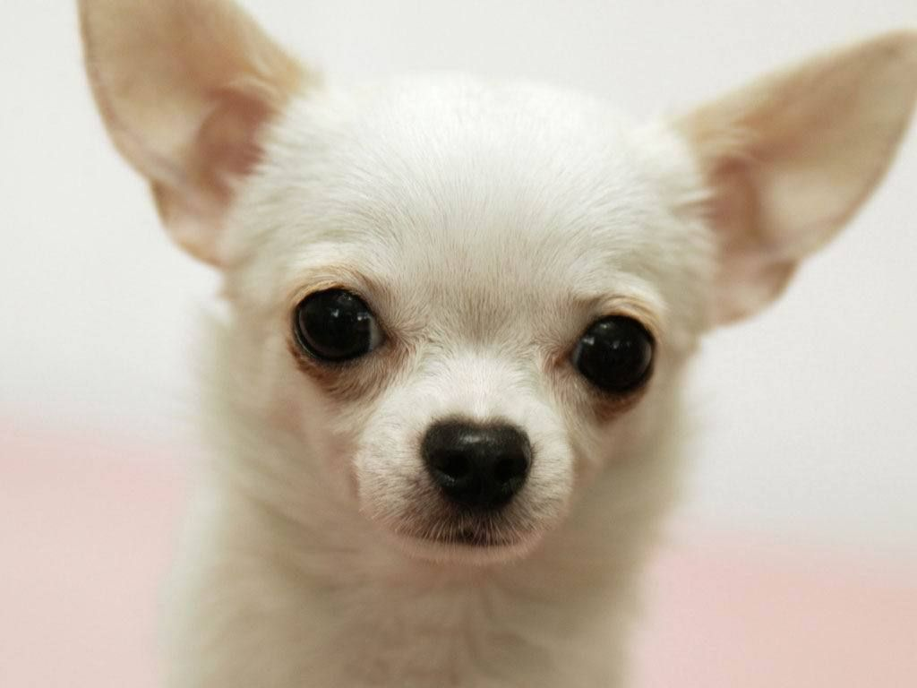 Chihuahua Naming As Fits Or And Advertise Care Sale 6 Dog Page