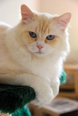 Red Ragdolls Ragdoll Cat Breed Ragdoll Cat Ragdoll Kitten