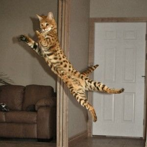 Bengal House Cat For Sale Mn