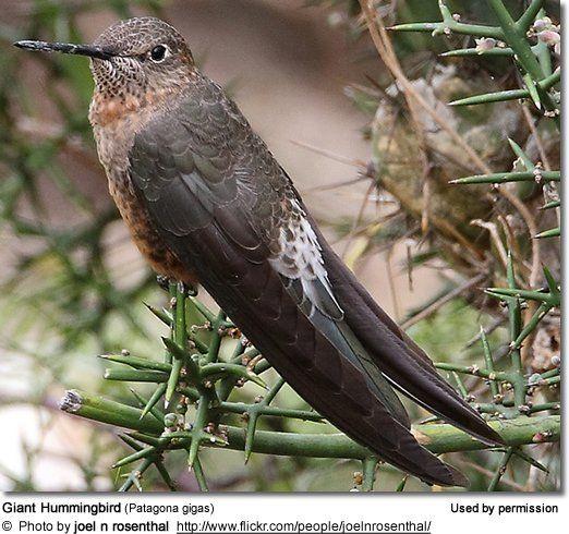 Giant Hummingbirds Hummingbird Pet Birds Incredible Creatures