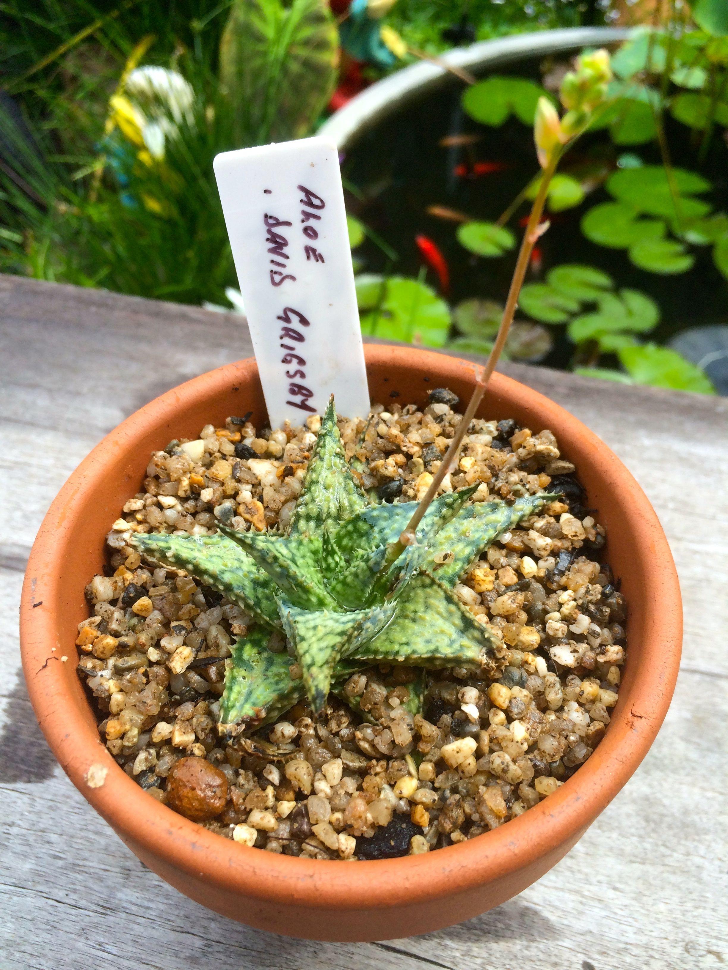 Aloe 'David Grigsby'. #succulents #Aloe