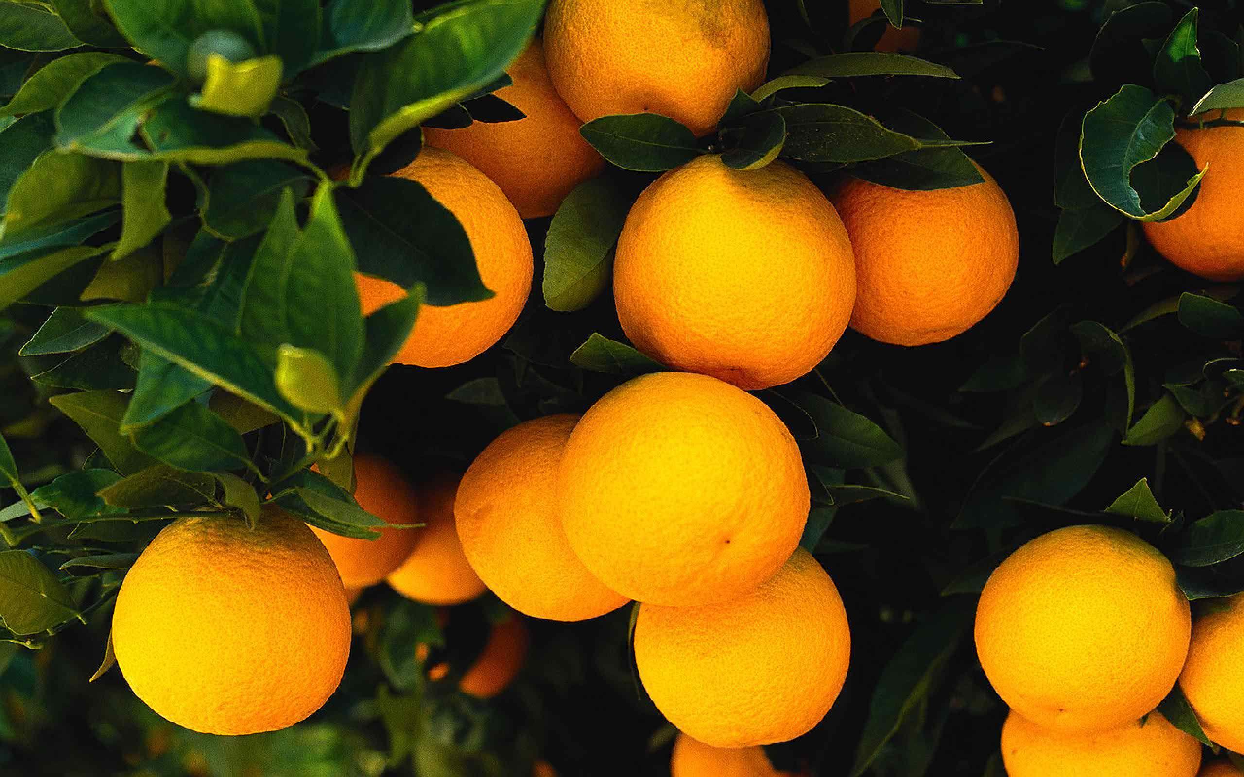 Fruit Tree Wallpaper Desktop Orange Fruit Citrus Fruit Fruit