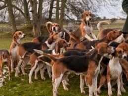 George Washington Had Thirty Six Dogs All Foxhounds With One