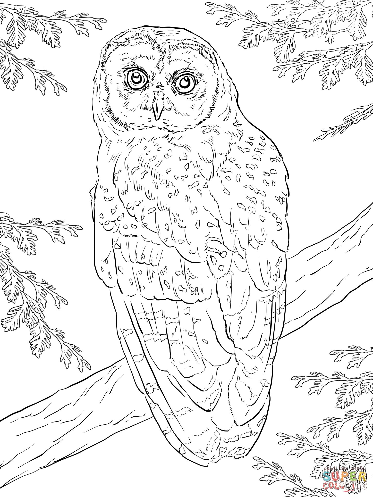 Northern Spotted Owl Coloring page | Free Printable Coloring Pages ...