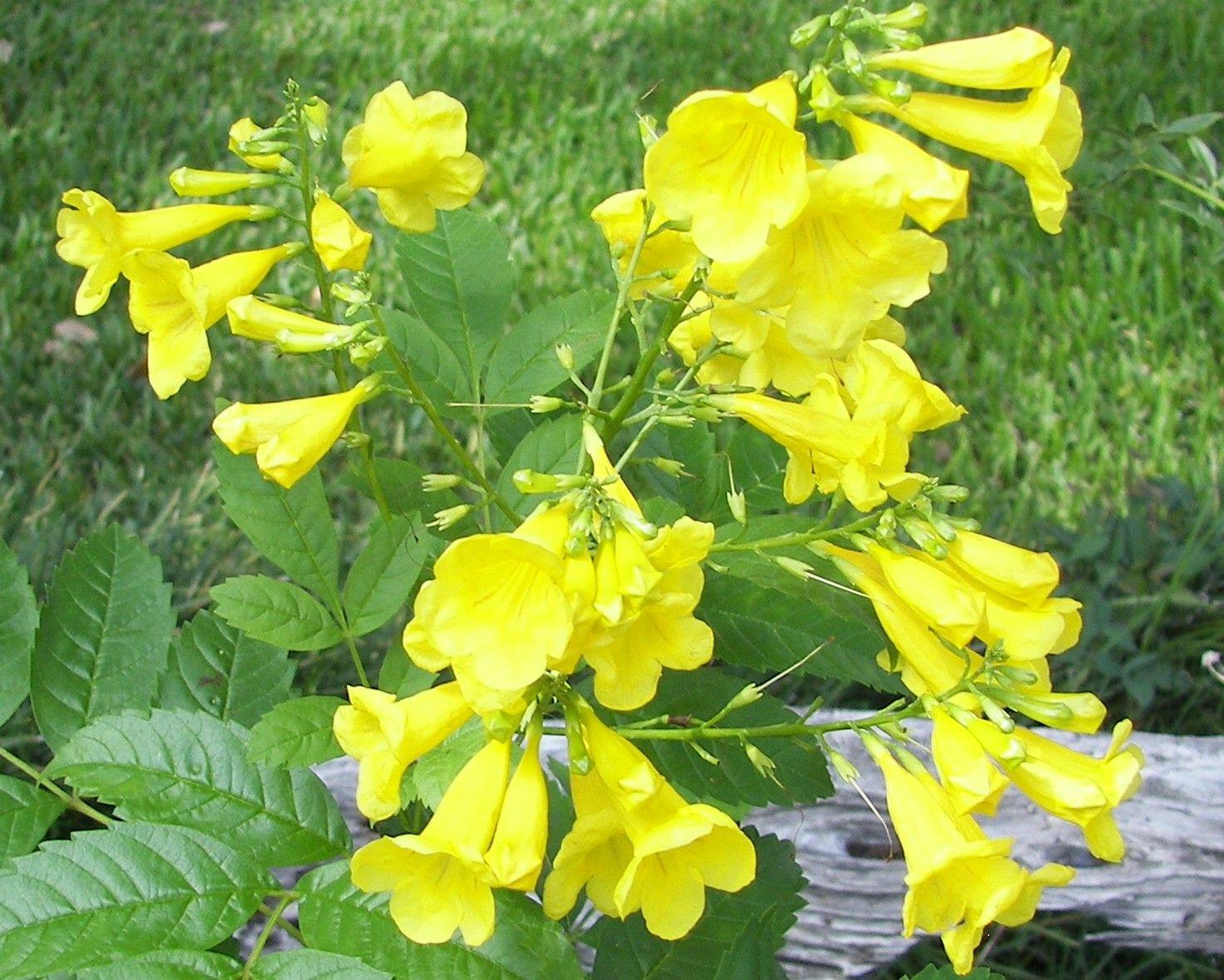Texas yellow bell flowers texas pinterest texas flowers and texas yellow bell flowers mightylinksfo
