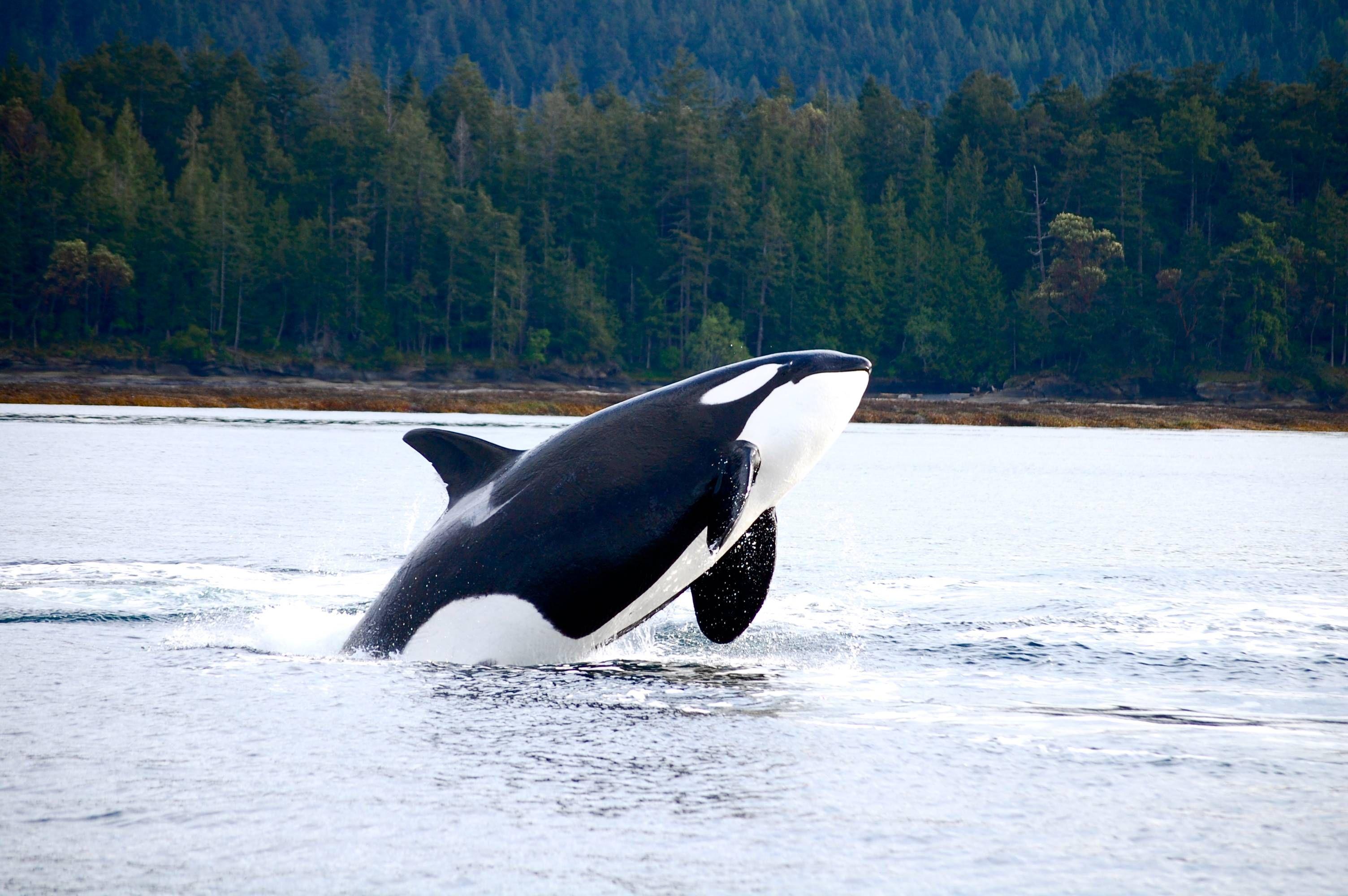 Orca breach by Libby Baldwin