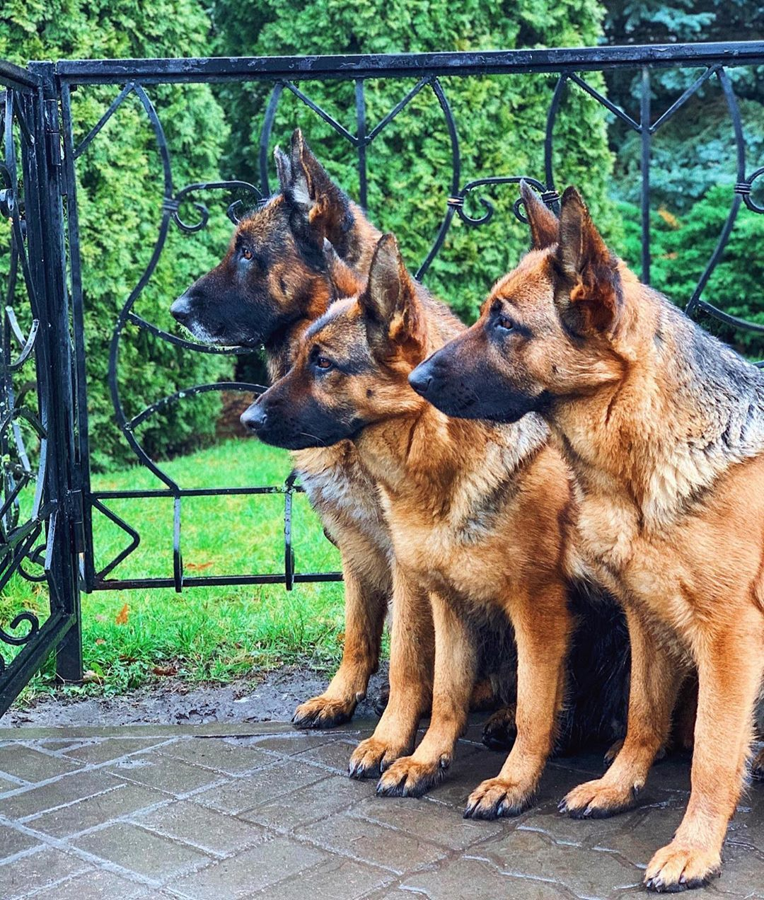 A Working Shepherd German Shepherd Dogs Shepherd Dog Dogs
