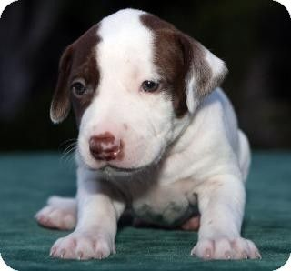 Hi My Name Is Spudz I M A Male Puppy Up To Date With Shots Good