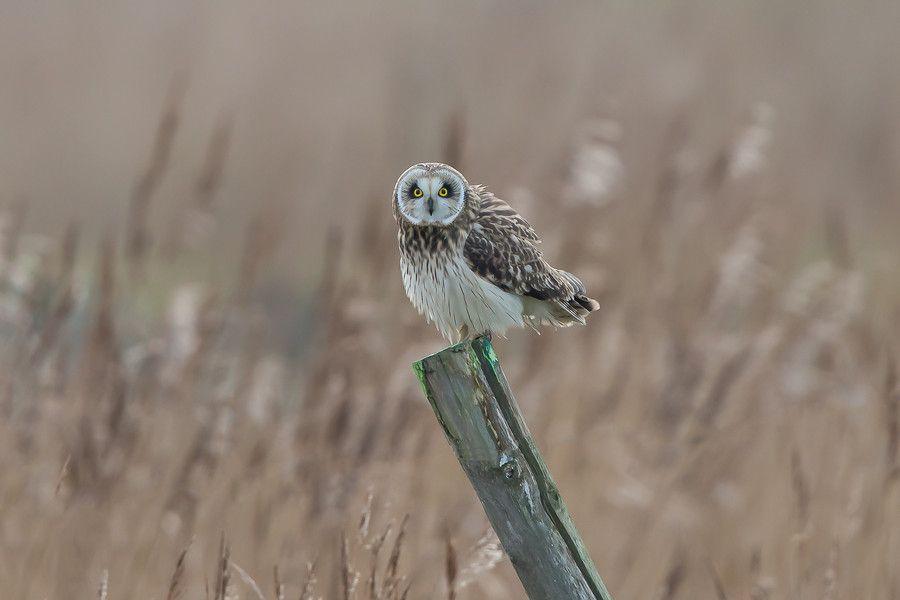 Photo Short-eared Owl by Stefaan Vanderpoorten  on 500px