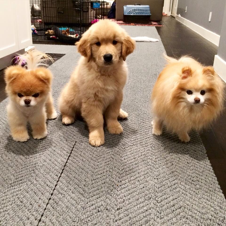Boo Buddy With Their New Brother Blue Boo The Dog Puppies Cute Animals