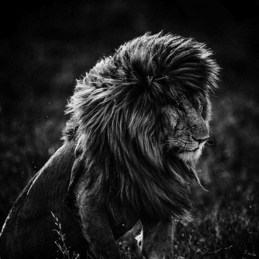 Buzzly Lion Noir Et Blanc Animales Photographie De La Faune Sauvage