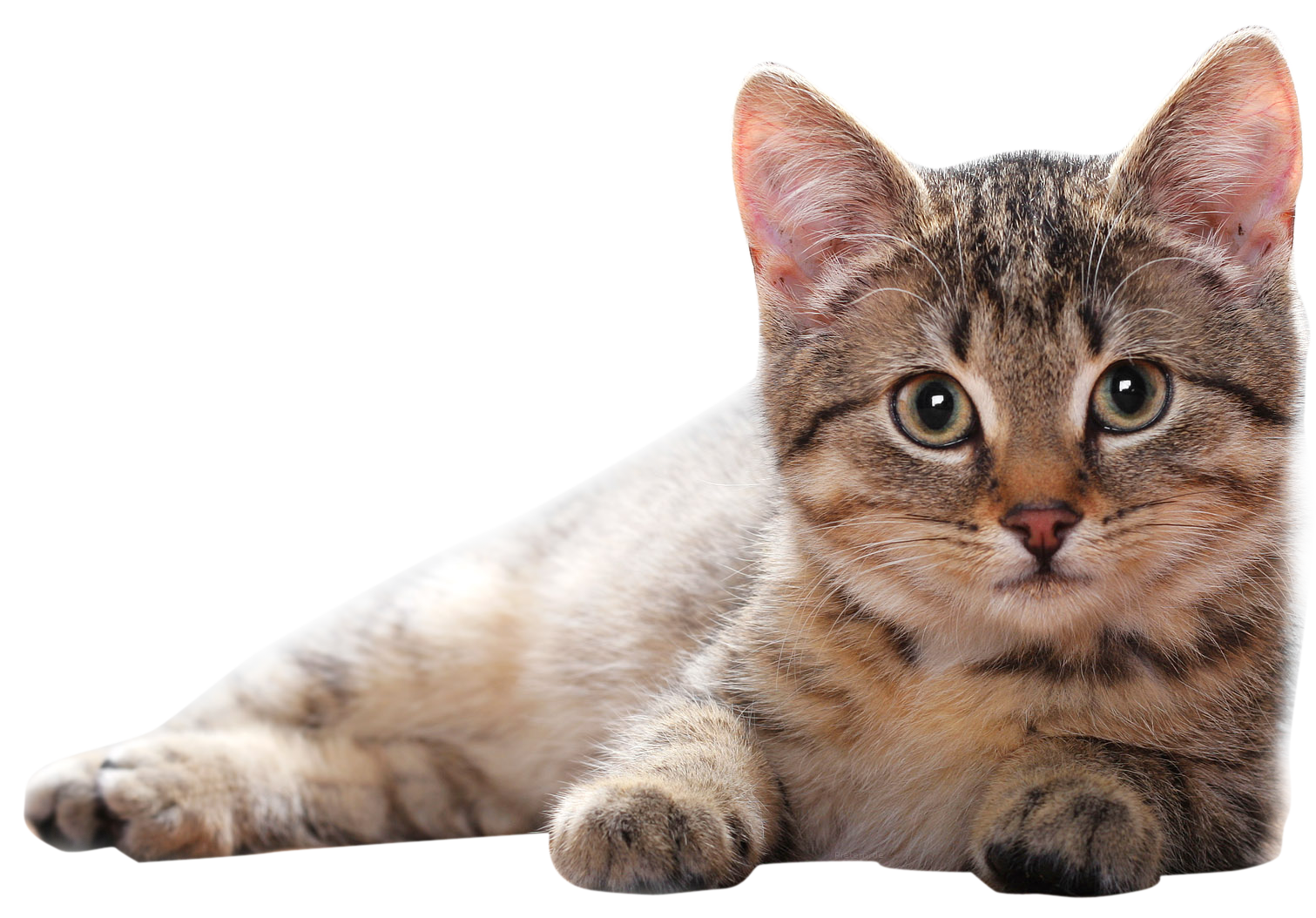 Lying Cat Png Png Image Purepng Free Transparent Cc0 Png Image Library Animals Cat Breeds Baby Cats
