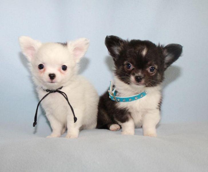 Extra Mini Chihuahua Welpen Ruden Mannlich Langhaar Superlieb Welpen Chihuahua Welpen Chihuahua