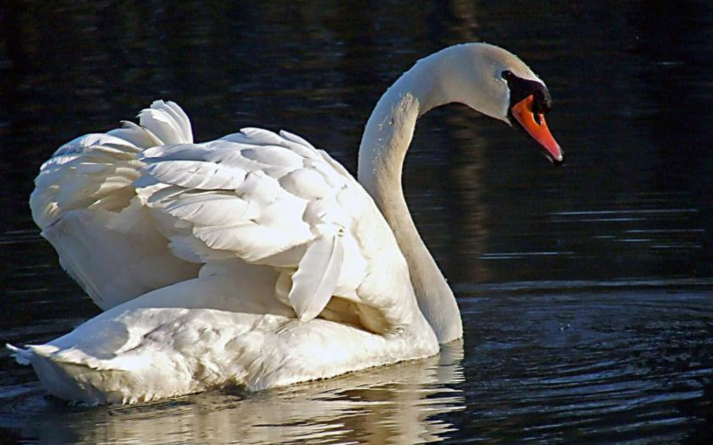Swan Wallpaper Photo And All Pictures