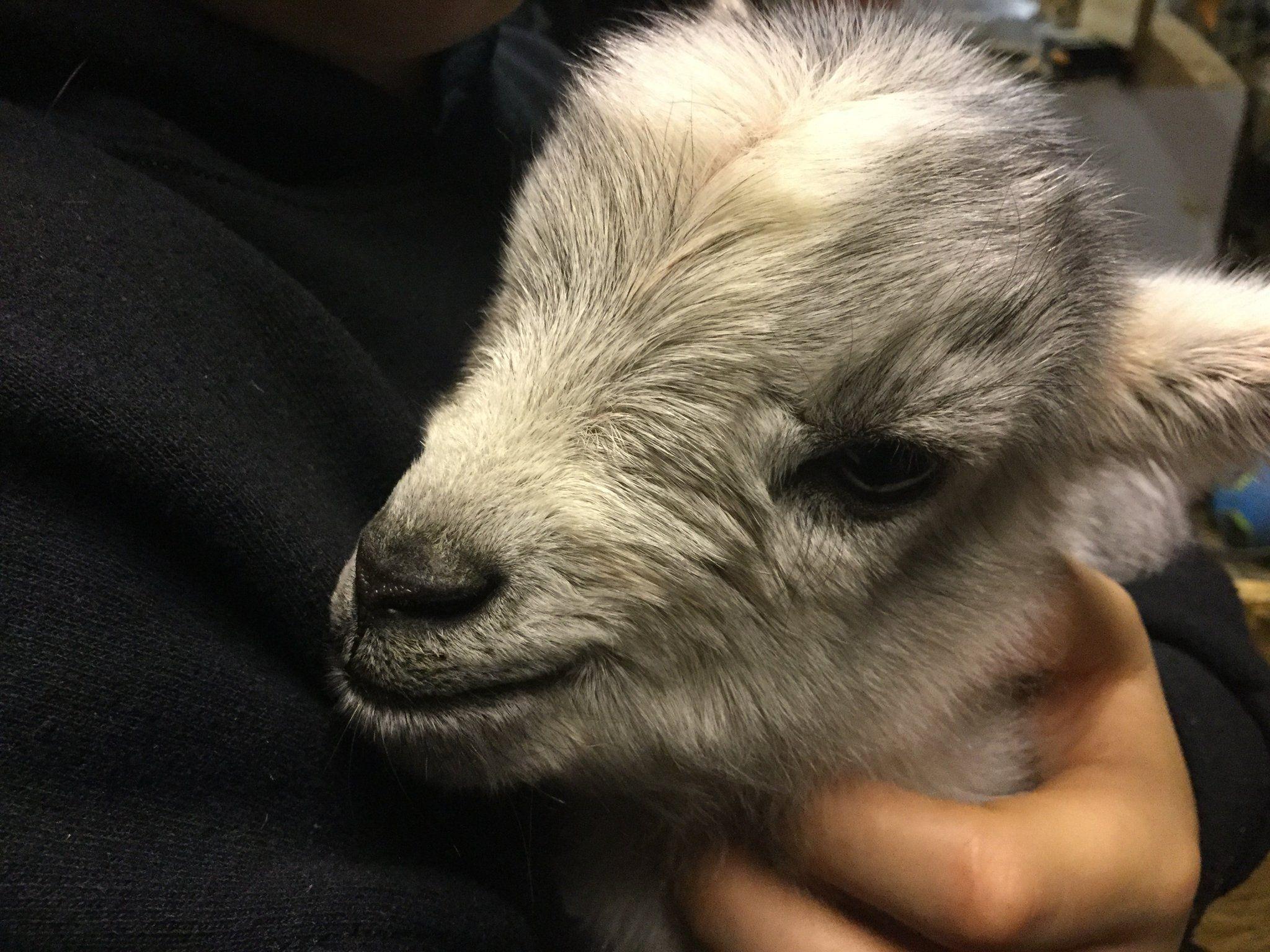 Bearded Nanny Goat Milk Creations | Bearded Nanny Baby Goats