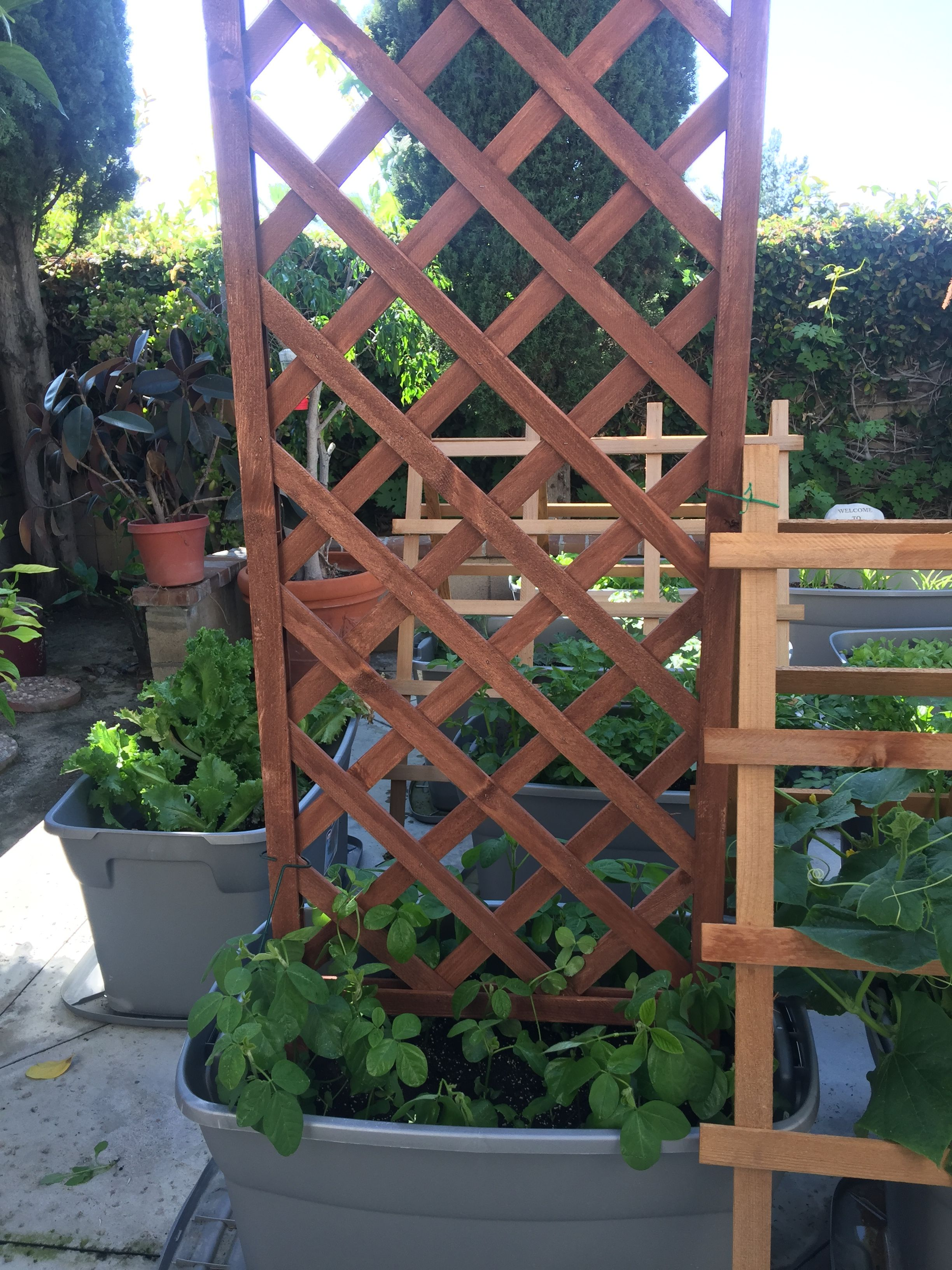 Added A Trellis For The Edamame Everything Is Growing Into It S