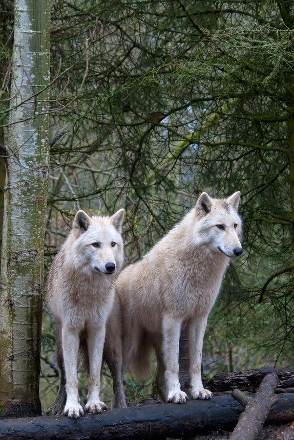White Wolf Pair At Woodland Park Zoo Wall Mural Wallsauce Us Majestic Animals Animals Woodland Park Zoo