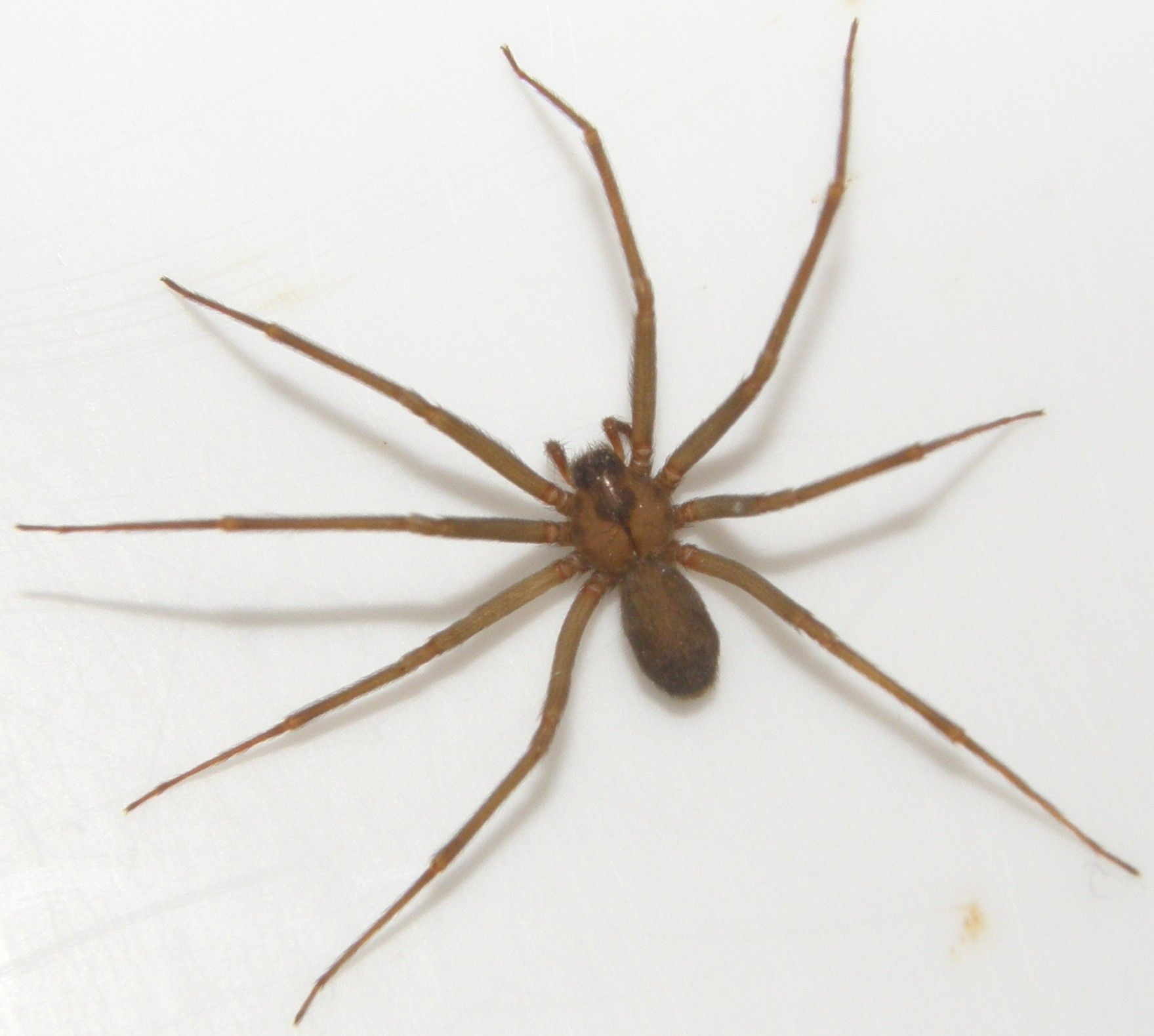 southern house and brown recluse spider pictures to pin on