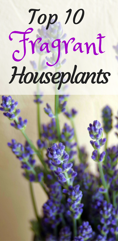 Top 10 Fragrant Houseplants   Houseplant, Plants and Houseplants