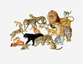 Illustration of Various Types of Big Cats, Lions, Jaguars, Panthers, Leopards, Cheetahs