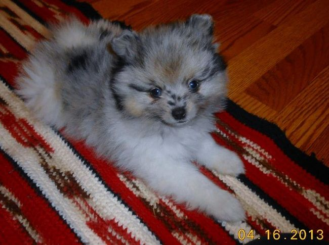 Pomeranian Puppies For Sale In Oklahoma Cute Puppies