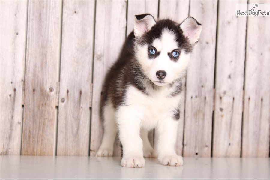 Cheyyenne Siberian Husky Puppy For Sale Near Columbus Ohio