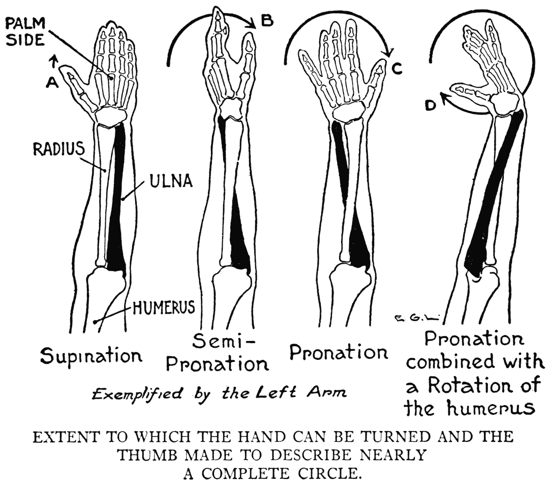 Image Result For Pronated Forearm Muscles