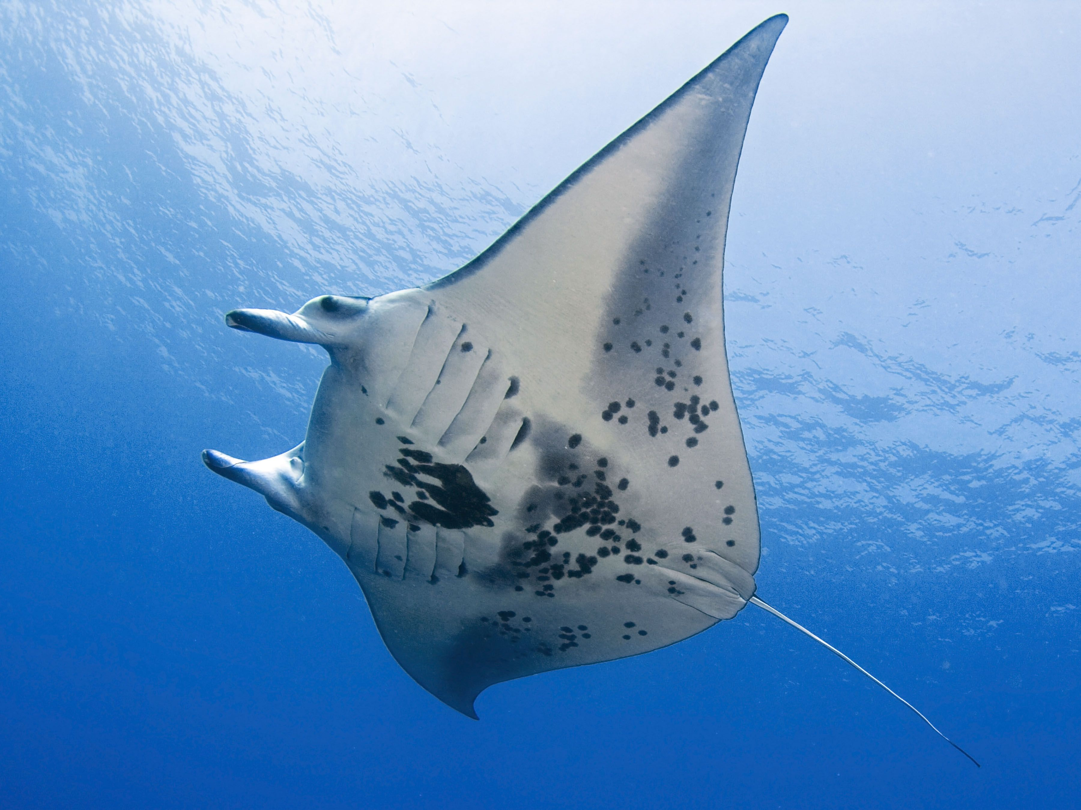 Manta ray swimming underwater with its dorsal fins spread open viewed - Manta Ray Hayden