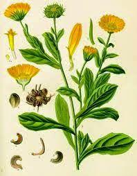 Las Plantas Curativas: Caléndula