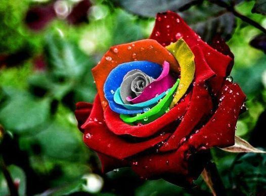The Rainbow roses were created by Dutch flower company owner Peter VanDe Werken, who produced them by developing a technique for injecting natural pigments into their stems while they are growing to create a striking multicolored petal effects.