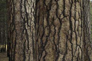 How To Make A Fake Tree Trunk Ehow Tree Trunk Painting Fake Trees Ponderosa Pine