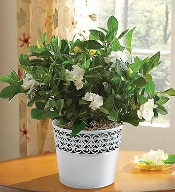 Grand Gardenia For Sympathy Flower Delivery 800 Flowers House