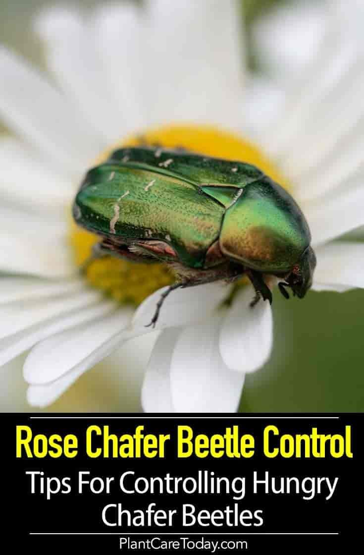 67a0897e0a87d34c36fa1c710bcba172 - How To Get Rid Of Red Beetles On Tiger Lilies