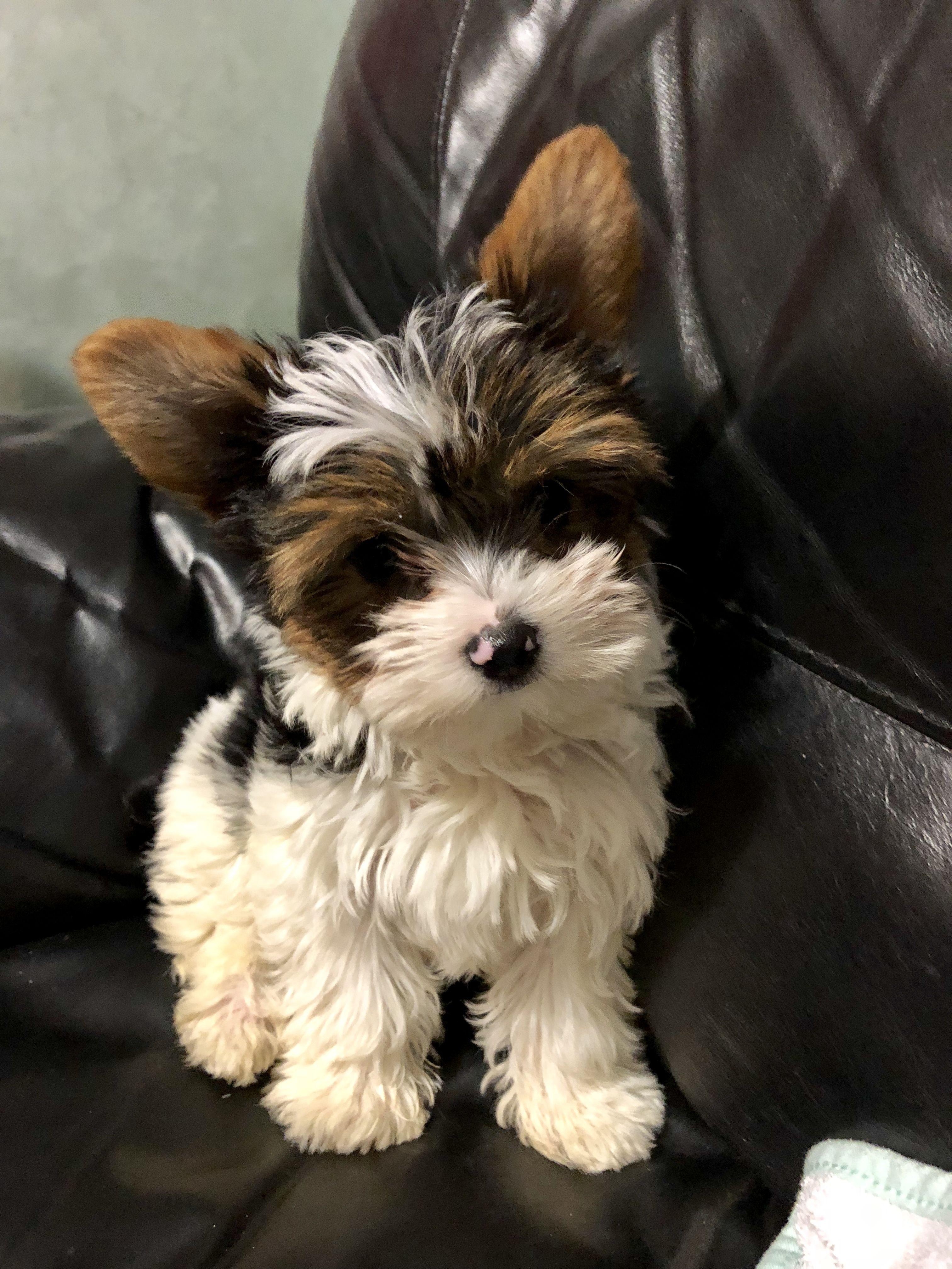Pin By Mayuko Davidson On My Parti Yorkies Baby Dogs Biewer