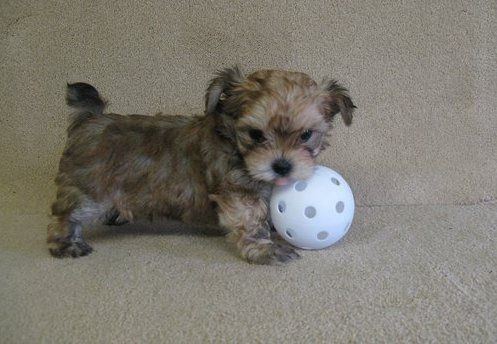 Morkie Puppies For Sale Chicago, IL Morkie puppies for