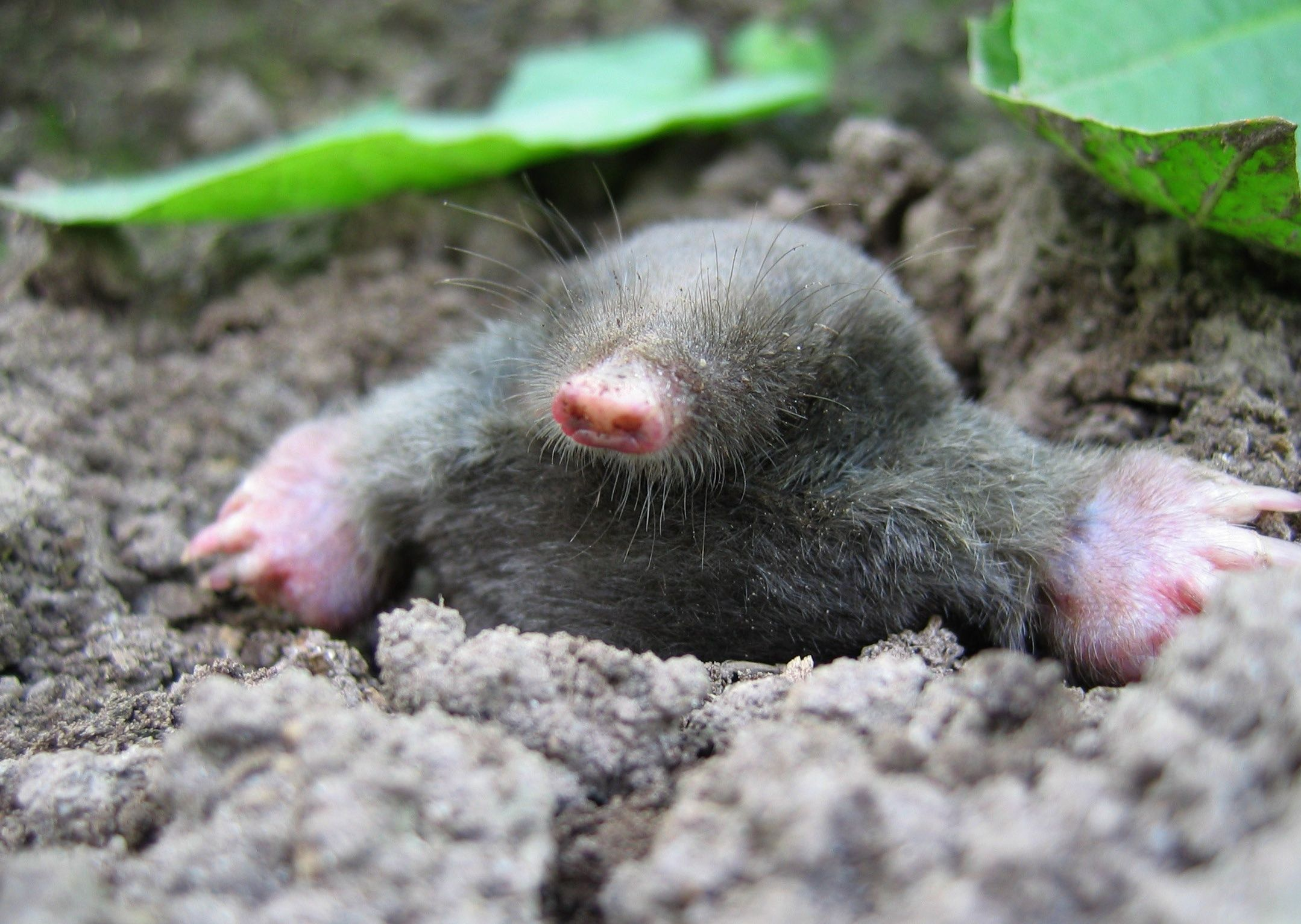 Gallery of of Mole animals on Animal Picture Society