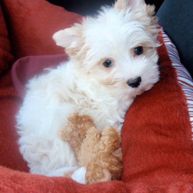 White Yorkie Puppies Yorkie Nibby S Pals Yorkie