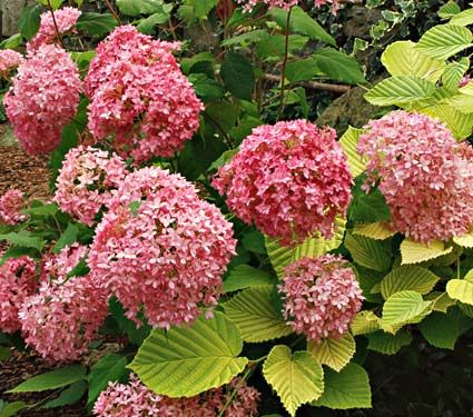 A Zone 4 Hydrangea A Breakthrough For Its Color And Repeat Bloom This Rich Pink Mophead From Renowne Small Flowering Plants Hydrangea Care White Flower Farm
