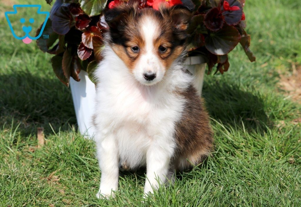 Bambi Sheltie Puppy Sheep Dog Puppy Shetland Sheepdog Puppies