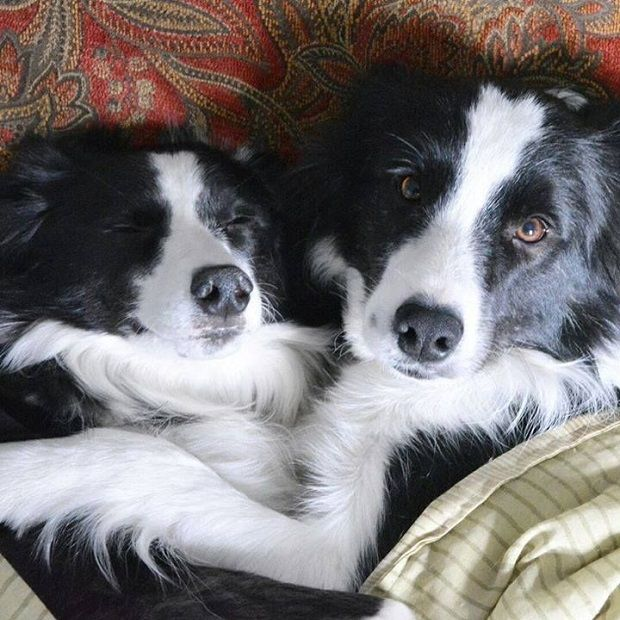 The 16 Best Things About Having A Border Collie With Images