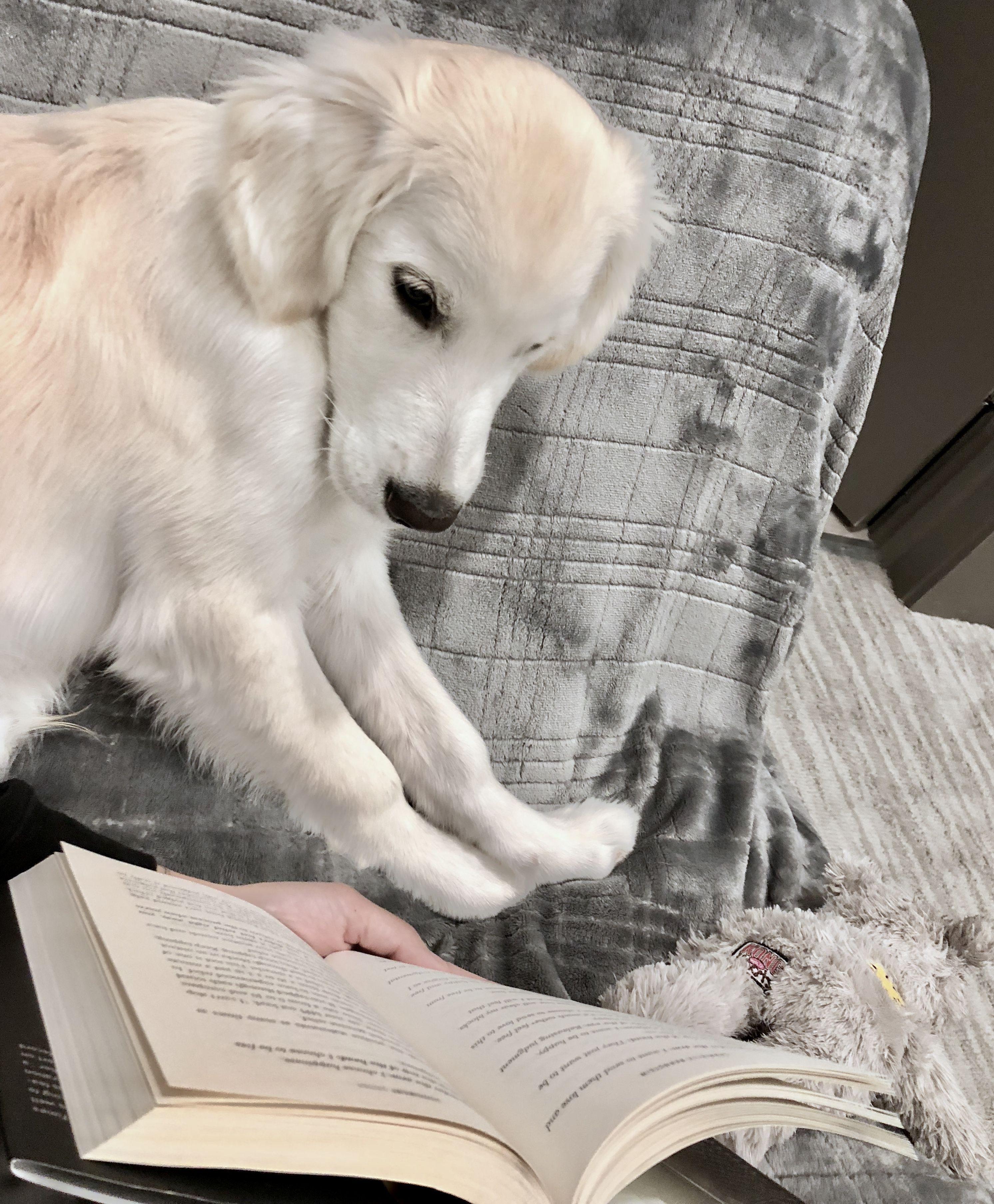 White Golden Retriever Puppy Dog Reading Books Cute