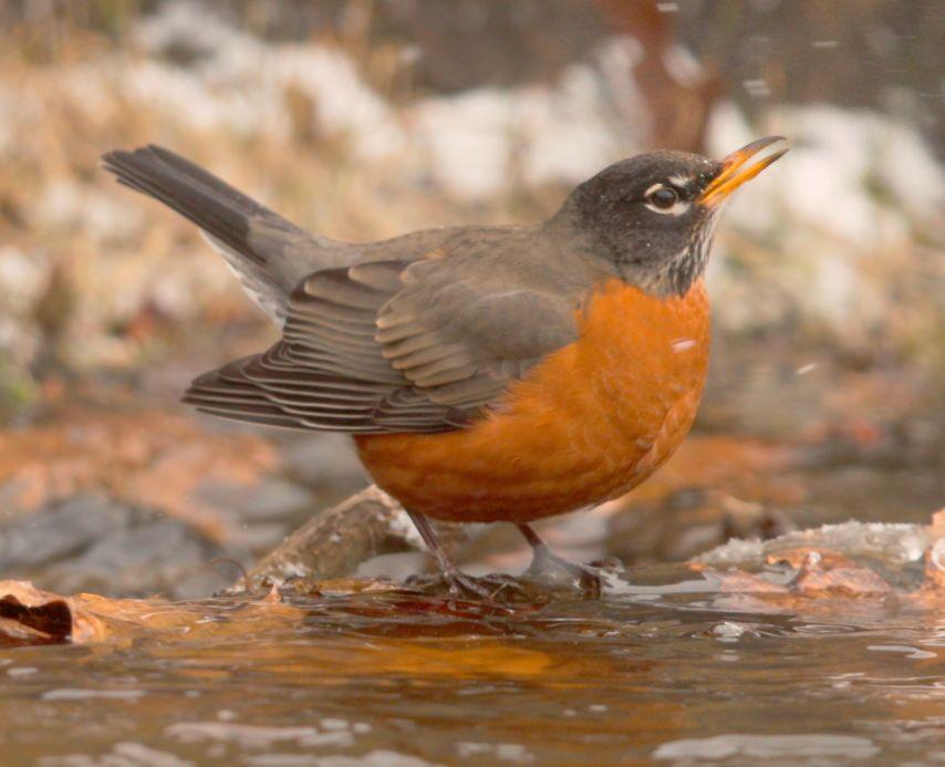https://flic.kr/p/jUPrBB | American Robin | American Robin @ Dawson Creek Park, Hillsboro OR