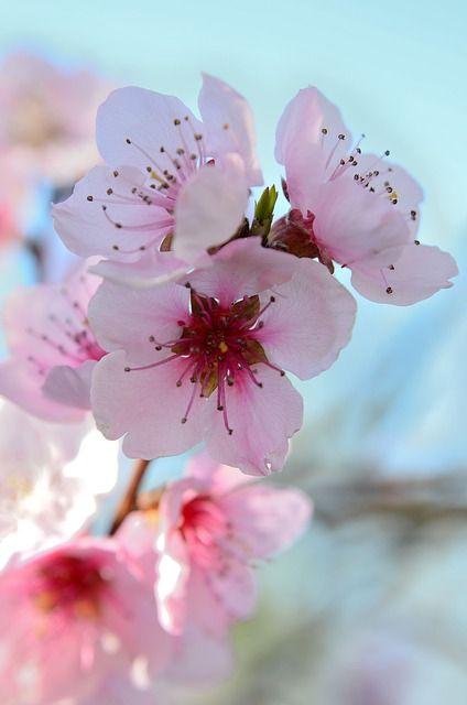 Fiori Di Pesco Spring Colorful Color Bloom Pesco Clipart Idea