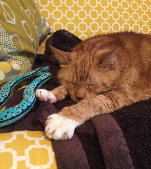 big ginger cat from england finds humans who love him