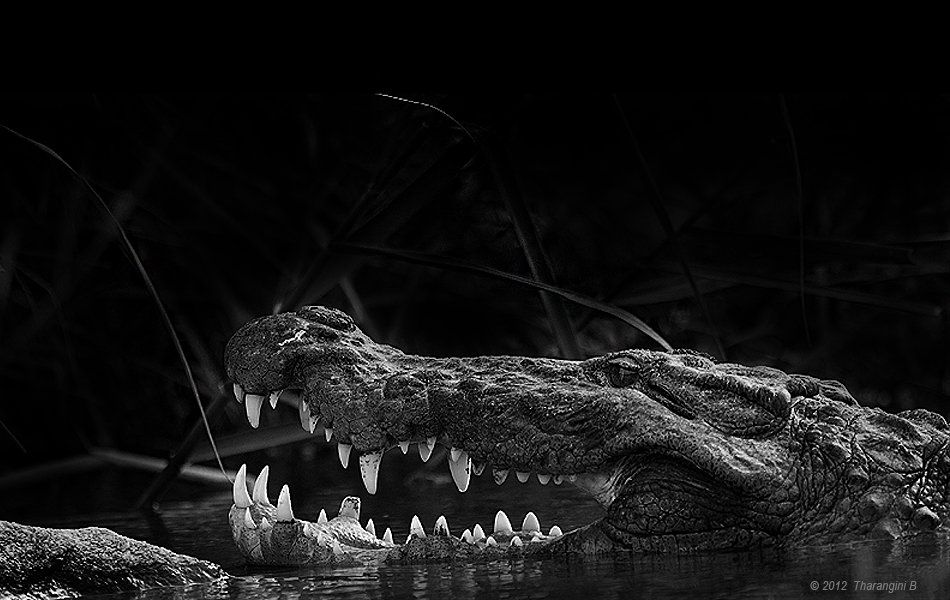 Another favourite inmate of Ranganathittu basks on the banks baring fangs in eager anticipation of a tasty morsel of breakfast that might drop unwittingly from the tree (owing to a failed attempt to fly, perhaps). Till then, this Marsh Crocodile chooses to display both his supreme patience and gleamy whites -- both equally strong.