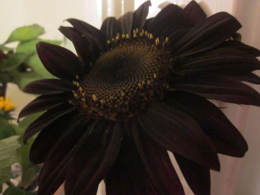 Black Sunflowers | Black flowers, Black sunflower seeds, Black garden